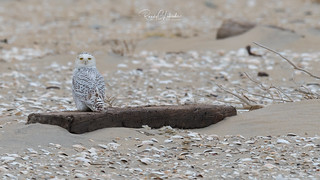 Snowy Owls of New Jersey | 2017 - 33