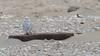 Snowy Owls of New Jersey | 2017 - 33 (RGL_Photography) Tags: birding birds birdsofprey birdwatching buboscandiacus gardenstate jerseyshore monmouthcounty mothernature nature newjersey nikonafs600mmf4gedvr nikond500 ornithology owls raptors snowyowl us unitedstates wildlife wildlifephotography beachowl