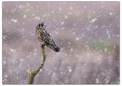 Short Eared Owl Perched in Snow. (dave.mcculley) Tags: asioflammeus shortearedowl owl wildlife nature outdoors snow perched lunt merseyside sefton liverpool border compositeimage