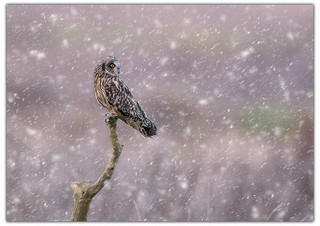 Short Eared Owl Perched in Snow.