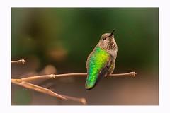 I know you're here, i can see you (Krasne oci) Tags: hummingbird hummer bird smallbirds annashummingbird closeup nature wildbird wildlife evabartos photographicart artphotography