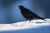 Alpendohle (Alpine chough) (tzim76) Tags: vorarlberg alpen alpendohle pyrrhocorax graculus alpine chough winter schnee kalt blau frost krähenvogel