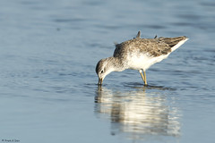 # Marsh Sandpiper........... (Prem K Dev) Tags: marsh sandpiper wader wildlife wonderful water black bird beautiful dark white nature avian reflection light lovely golden sholinganallur sml subcontinent india chennai colourful