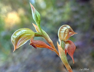 RUDDY GREENHOOD ORCHID