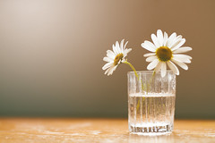 Simplicity... (*Lolly*) Tags: daisies daisy flower bokeh light glas water indoor sweden canon europe vase