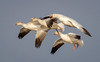 Snow Geese landing (tresed47) Tags: 2017 201701jan 20170104bombayhookbirds birds bombayhook canon7d content delaware flightshot folder general goose january peterscamera petersphotos places season snowgoose takenby us winter ngc npc