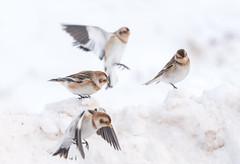 Snow buntings (Gowild@freeuk.com) Tags: snowbunting bird birds snow winter scotland cairngorms cairngormnationalpark uk wild wildlife nature andrewmarshall nikon