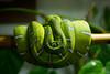 Emerald Tree Boa (adamrferry) Tags: emerald tree boa snake emeraldtreeboa reptile curled curl bamboo green