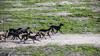 Jauría (Ignacio M. Jiménez) Tags: perros galgos jauría dogs hounds pack greyhounds ignaciomjiménez ubeda jaen andalucia andalusia españa spain