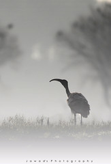 Black Headed Ibis (Jawad_Ahmad) Tags: nature mor fog mist mistymorning atmosphere bird birdphotography wildlifephotography wildbird blackheadedibis sialk flicker jawadsphotography pakistan