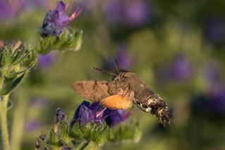 Hummingbird hawkmoth (Macroglossum stellatarum) Kolibri vlinder