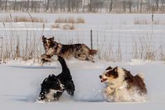 Snowdogs (unbunt.me) Tags: aussie fujixpro2 australianshepherd fuji fujifilm bordercollie dog hund