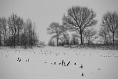 Schneefall (malp007) Tags: schnee winter snow landscape landschaft schneefall sne blackwhite monochrome stillife stillleben willow feld marken dof tiefenschärfe nature naturephotography