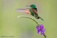 Gear down mode (hvhe1) Tags: nature wildlife animal bird hummingbird stripetailedhummingbird eupherusaeximia streifenschwanzkolibri colibriàépaulettes streepstaartkolibrie purple green flower landing landinggear hvhe1 hennievanheerden costarica monteverde centralamerica specanimal