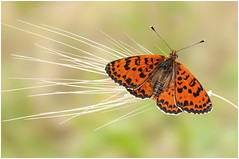 Spotted Fritillary (Kasia Bukowska) Tags: butterfly bug spring orange