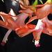 xmas cactus blooms