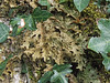 Tree Lungwort lichen (Philip_Goddard) Tags: treelungwort lobariapulmonaria lobaria lichens foliose corticolous nature naturalhistory southwestengland england unitedkingdom britain british britishisles greatbritain uk europe