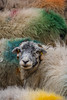 here come the girls (jennyfleurdelyon) Tags: rainbow wool colourful sheep