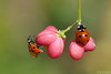 The Duo (Vie Lipowski) Tags: ladybug ladybird ladybeetle euonymuseuropaeus spindle europeanspindle commonspindle insect beetle bug shrub flower berry wildlife nature macro
