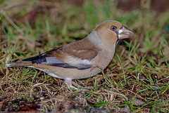 JWL8684  Hawfinch.. (jefflack Wildlife&Nature) Tags: hawfinch farmland finch finches forest wildlife wildbirds woodlands yew birds avian animal animals countryside trees nature s