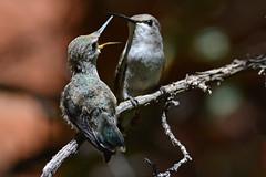 Mom, I'm Hungry! (NaturalLight) Tags: fledgling hummingbird feeding hungry sonoradesertmuseum tucson arizona