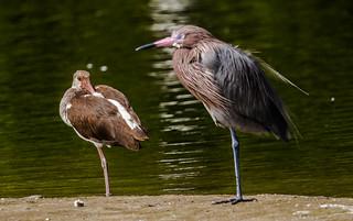 IMG_7676 Reddish Egret and  Juvie White Ibis at Ding Darling
