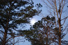 Moon, Sky And Trees. (dccradio) Tags: lumberton nc northcarolina robesoncounty outside outdoors tree trees nature natural greenery pine evergreen sky morning morningsky bluesky goodmorning earlymorning moon lunar branch branches treebranch treebranches treelimbs sticks nikon d40 dslr