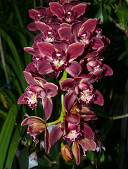 Cymbidium Ivy Fung 'Harlequin'  splash / feathered hybrid orchid, 2nd bloom continues 1-18* (nolehace) Tags: cymbidium ivy fung harlequin hybrid orchid 118 winter nolehace fz1000 flower bloom plant splash feathered sanfrancisco