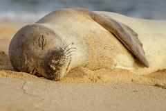 SUN SOAKING (Sandy Hill :-)) Tags: seals monkseals mediterraneanmonkseals kauai hawaii beaches sand sunny warm mammals endangered rare