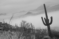 Tum027_small (patcaribou) Tags: tucson tumamochill sonorandesert fog cactii saguarocactus