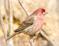 Male House Finch (tresed47) Tags: 2018 201802feb 20180214homebirds birds canon7d chestercounty content february finch folder home housefinch pennsylvania peterscamera petersphotos places season takenby us winter