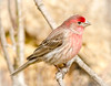 Male House Finch (tresed47) Tags: 2018 201802feb 20180214homebirds birds canon7d chestercounty content february finch folder home housefinch pennsylvania peterscamera petersphotos places season takenby us winter ngc npc