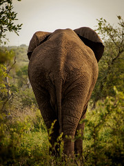 A beautiful rear can also endear... (davYd&s4rah) Tags: elephant mammal southafrica krugernp krügernationalpark südafrika elefant loxodontaafricana big5 olympus epl7 m40150mm nature