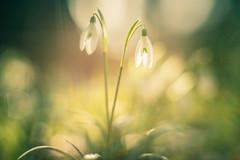 Bokeh (michel1276) Tags: olympus zuiko zuiko5512 bokehful bokehlicious bokehlove bokeh manualfocus manuell vintage vintagelens macro makro snowdrops schneeglöckchen flower flowers flowerwatcher