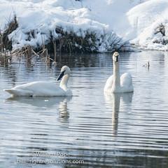 BHP08001 (GabriolaBill) Tags: swan swans bird birds nelder pond gabriola island gabriolaisland bc british columbia canada salish sea salishsea nature wildlife birdlife water sony a7r2 a7rii a7rm2 a7rmii 100400mm gm gmaster