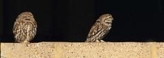 1S9A6930 (saundersfay) Tags: littleowls birds elmley feathers yellow eyes beaks hares kestrel