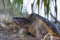 Florida Snapping Turtle (Gatorgirl51) Tags: florida snapping turtle eggs nature nikon 7100