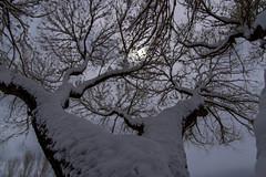Winter Strikes Back (aaronrhawkins) Tags: winter snow tree cottonwood branches sun cloud storm provo utah sky trunk dark aaronhawkins season weather