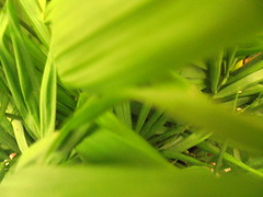 DSC00828 (classroomcamera) Tags: school campus garden grass leaf leaves leafy green closeup