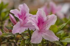 Día 154 (gedaesal) Tags: flowers closeup details pinkcolor macrodreams macro canon700d ngc