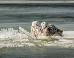Sisters . . . (Dr. Farnsworth) Tags: owl snowyowl owls white tow duo sisters ice wind waves muskegon mi michigan winter february2018 nationalgeographic worldwide scream screamofthephotographer