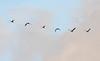 DSC_0574 (H Sinica) Tags: 贊比亞 zambia zimbabwe 津巴布韋 zambeziriver 贊比西河 africansacredibis threskiornisaethiopicus 聖䴉 聖鷺 curlew