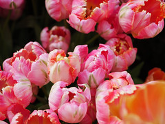 Bright flowers (intelligencya) Tags: blooming beauty nature closeup flower head fragility freshness growth no people pink color plant