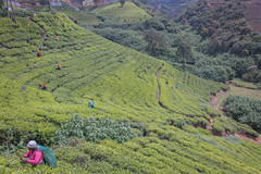 850_2496 (stephho2015) Tags: tea ceylon teaplantation srilanka