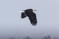 Crossing (Rick 2025) Tags: birds raptors eagles baldeagles northernbaldeagles inflight wolfeisland wolfeislanderiii