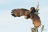 Great Gray Owl (raspberryridgehouse) Tags: owl greatgrayowl saxzimbog bog bird wings fly feather nature natural wildlife brown