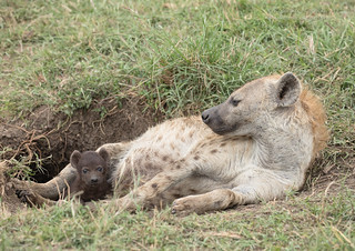 Spotted Hyena mum with cub - Crocuta crocuta