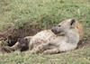 Spotted Hyena mum with cub - Crocuta crocuta (rosebudl1959) Tags: 2017 kenya masaimara zebraplains spottedhyenacubwithmum