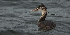Young Great Crested Grebe (neil 36) Tags: great crested grebe young water bird