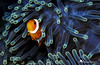 Amphiprion ocellaris (Agnieszka Adamczyk) Tags: underwaterphotography epl5 olympus macrophotography tauchen scubadiving wetpixel uwphotography underwater divingtrip diving indonesia bali